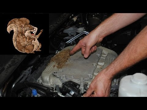 Squirrels Eating Car Engines Rodents Rats Chewing On Auto Parts Wires Damage Hoses Honda Toyota Kia