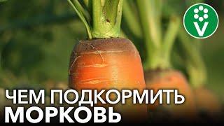 МОРКОВЬ НЕ ЛЮБИТ ЗОЛУ?! Подкармливаем морковь правильно для богатого урожая