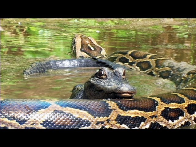 dangers of invasive pythons in florida Invasive burmese pythons have been plaguing florida for more than 15 years, and now scientists are stepping up the fight the burmese python mating season can be a cramped affair in southwestern florida, the snakes sometimes gather in burrows dug by gopher tortoises.