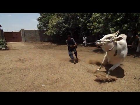 angry bull on eid ul azah - funny video