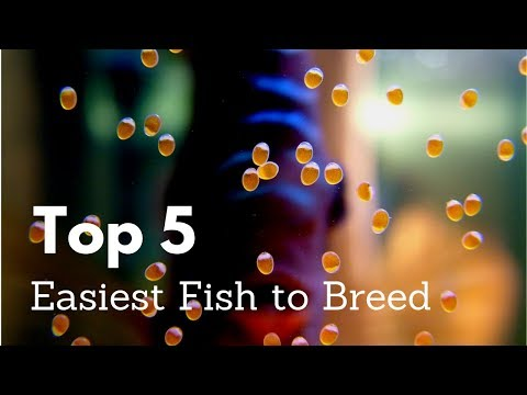 Top 5 Easiest Fish To Breed For Aquariums