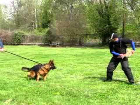 Long Coat German Shepherd Dog Start Bitework