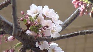 最高気温21℃ 小樽で桜咲き始める thumbnail