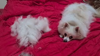 GERMAN SPITZ and BLOWING COAT!