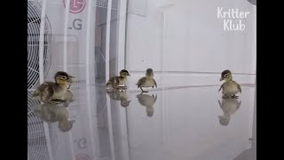 Baby Mandarin Ducks Ready To Jump From The 20th Floor Of An Apt To Migrate | Kritter Klub