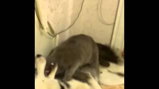 Кот пялит собаку!!!