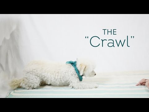 Dog Tricks Made Easy - The 'Crawl'
