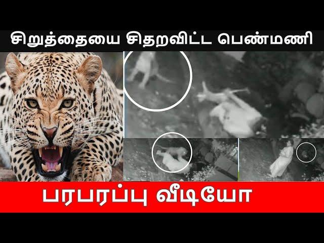 சிறுத்தையை சிதறவிட்ட பெண்மணி   TamilThisai   Leopard Attack   Viral Video  