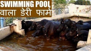 Laxmi Dairy Farm - The Best Buffalo farm in India