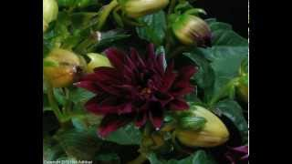 Dahlia Burgundy flower 2 blooming time-lapse.mov