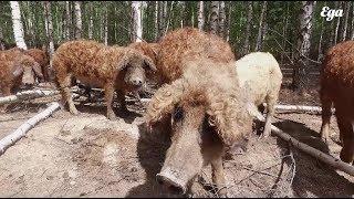 Мангалицы, кудрявые венгерские свиньи фермера Дмитрия Хоменко. Путешествия «Еды»
