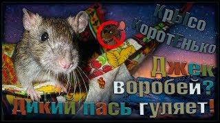 Пасюк по имени Джек Воробей на выгуле. Немного о подрастающем поколении крыс! (Wild Rats)