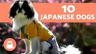 The 10 Most popular Japanese Dog Breeds
