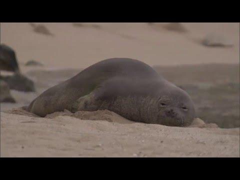 Hawaiian Monk Seal Rehabilitation