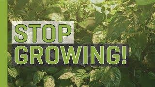 Stop Growing (Start Budding and Flowering!)