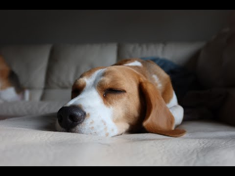 Funny Beagle Dog Louie Takes His New Bed Outside