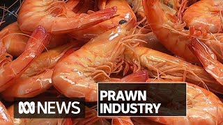 Prawn farmers to be back to full capacity by Christmas after 2016 White Spot outbreak | ABC News