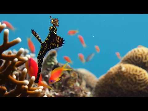 ghost pipefish צלילה באילת בשונית המערות