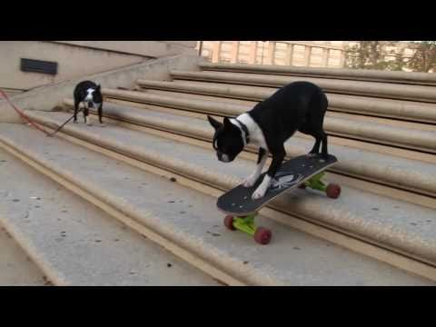 skateboarding Dogs Tuxedo & Neo at the place de l'Europe Montpellier