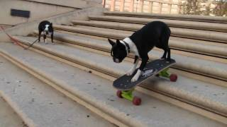 skateboarding Dogs Tuxedo & Neo at the place de l