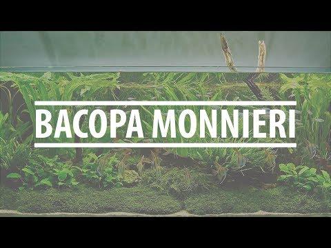 Tanaman Aquascape Pemula BACOPA MONNIERI
