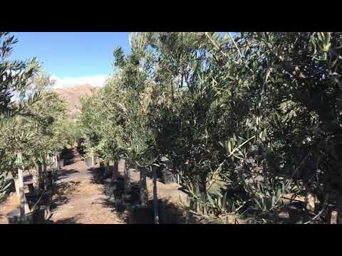 Olive trees Big Plant Nursery