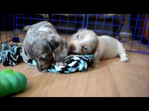 Miniature Dachshund, Puppies, For, Sale, In, Green Bay