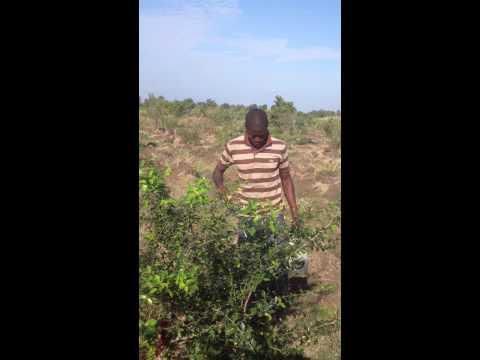 Acerola Cerise applying organic insecteside in Haiti