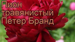 видео Пион молочноцветковый Петер Бранд