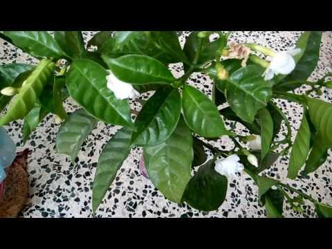 359-How to grow Gardenia/Gandhraj/Gulchand/Cape Jasmine cuttings without rooting hormones (Hindi) 7/