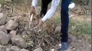 गोल्डन कलर का साँप पकड़ा,rescue snake video village virka near malout date:-26/10/2014, 98141-71064