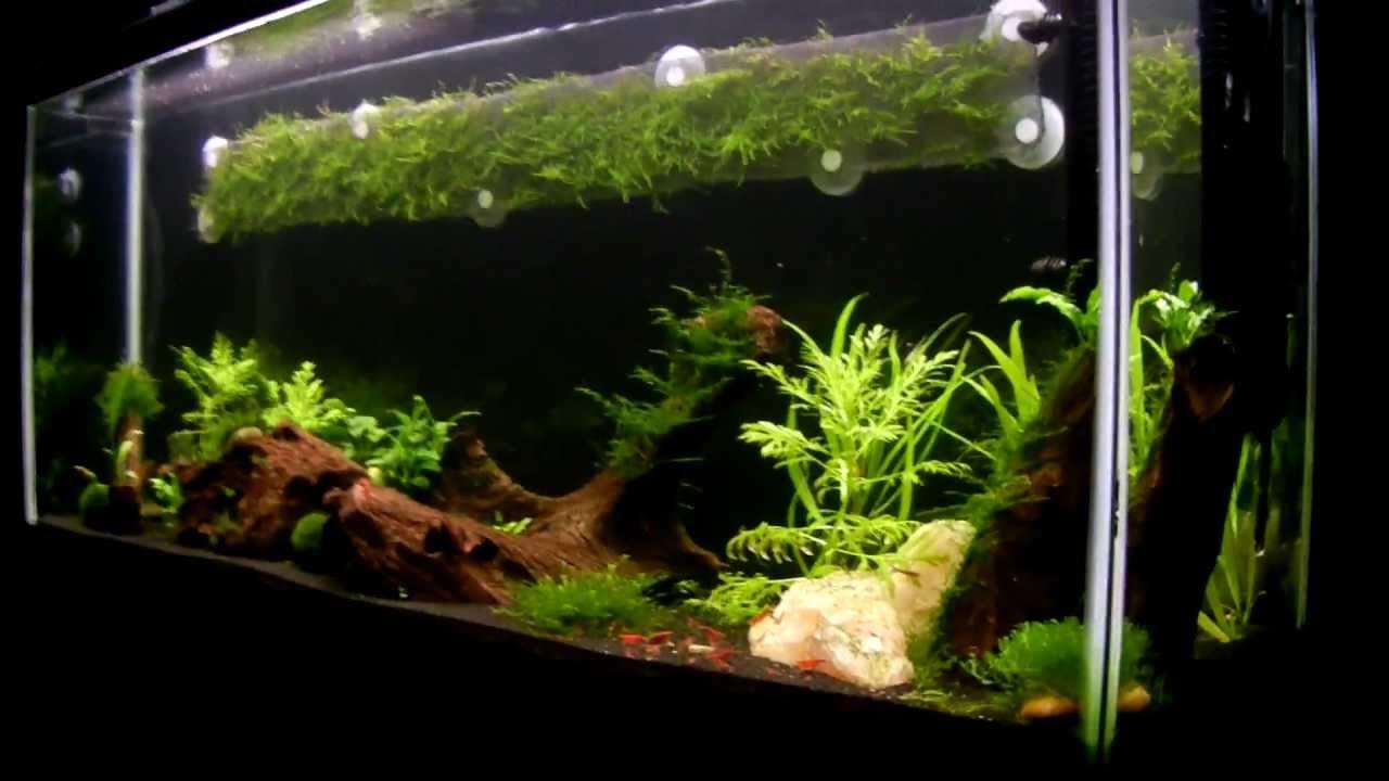 Freshwater Red Cherry Shrimp Aquarium - Part 4 - YouTube