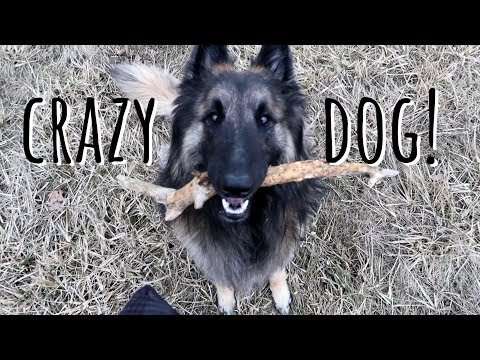 My Crazy Dog  | Belgian Shepherd Tervuren