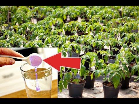 Молниеносный рост рассады помидор после этого! Чем подкормить рассаду помидор после пикировки?