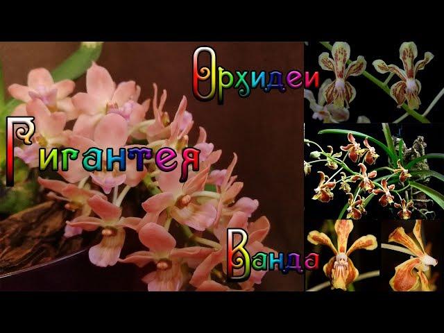 Орхидеи gigantea и vanda спустя неделю