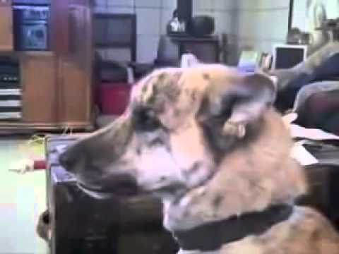 Really funny video This dogs loves bacon The Maple Kind! 360p