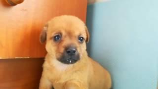 邻居的土狗(中华田园犬)生出了一窝狗崽崽,送给我们家一只。虽然是土...