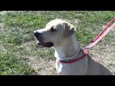 Calypso, an Energetic 1-year-old Pit bull/Lab mix Dog ADOPTED in Manahawkin, NJ
