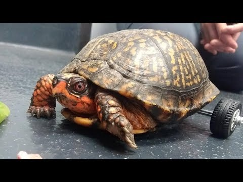 Jason Carr - Veterinarians  Build Wheelchair For Turtle Who Lost Both Back Legs