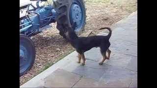 "This Video Previously Contained A Copyrighted Audio Track. Due To A Claim By A Copyright Holder, The Audio Track Has Been Muted.     ""bolo"" Chihuahua-miniature Pinscher Cross"
