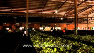 Indonesia Sumatra Tea Factory