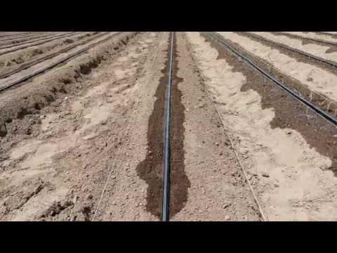Trasplante de Cebolla en Riego por Goteo (time lapse)