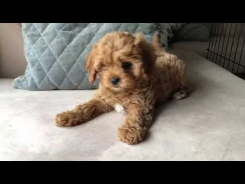 Elle - Toy Cavoodle - 9 weeks old