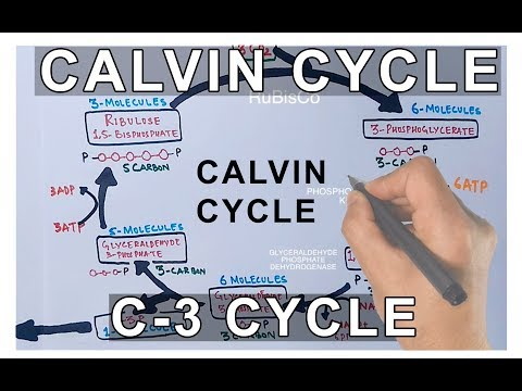 Photosynthesis - Calvin Cycle