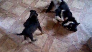 Альфа и подобранные щенки