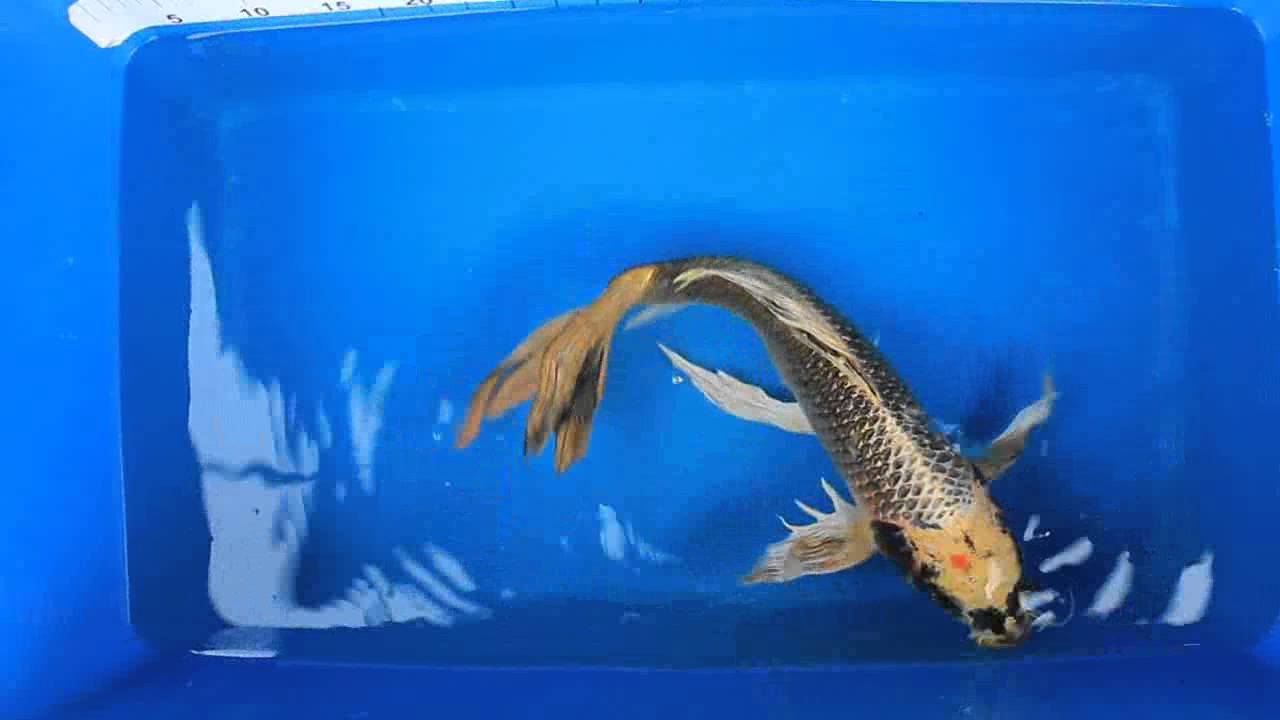 20 matsuba butterfly koi carp fish for sale love for Fish for sale koi