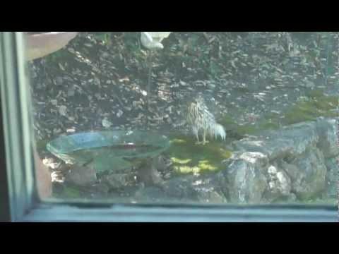 A Hawk in my Bird Bath
