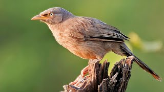 Bird Call of Jungle Babbler (Turdoides striata) Seven sisters, Seven Brother,