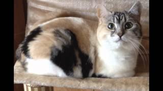 Кимрик (Cymric) породы кошек( Slide show)!