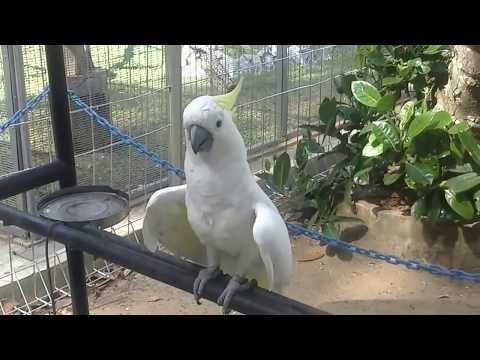 Burung Kakak Tua Nyanyi